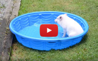mini pig in pool