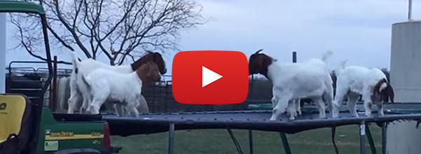 goats jumping on trampoline
