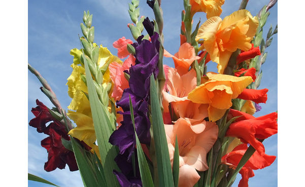 Gardening4Less Gladiolus Mixed Flower Bulbs