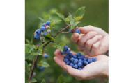 Grannys Giant Blueberry Plants by Gardening4Less